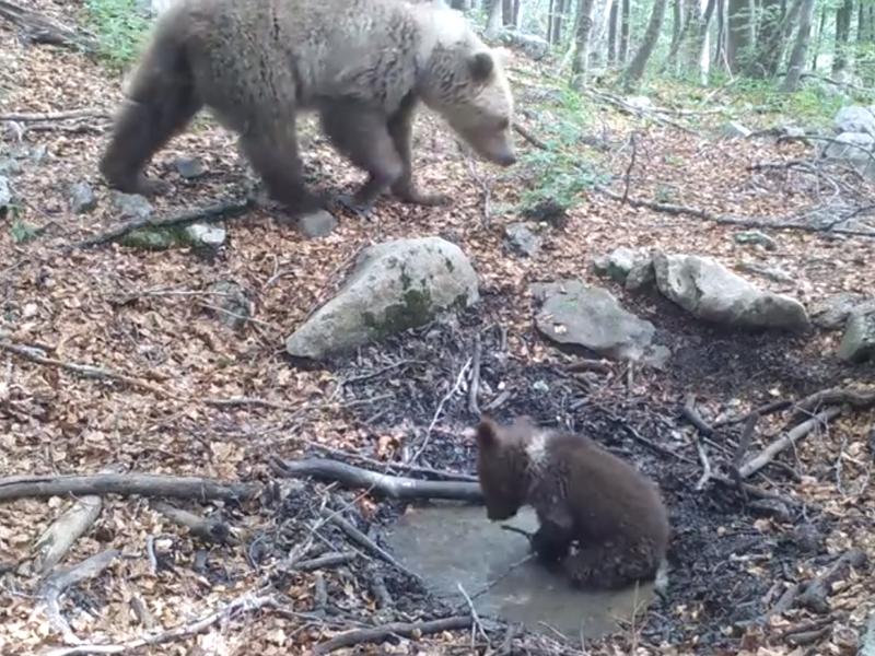 Photo of VIDEO Zaigrani medvjedić uživa u lokvi vode – pogledajte predivan prizor s Velebita!