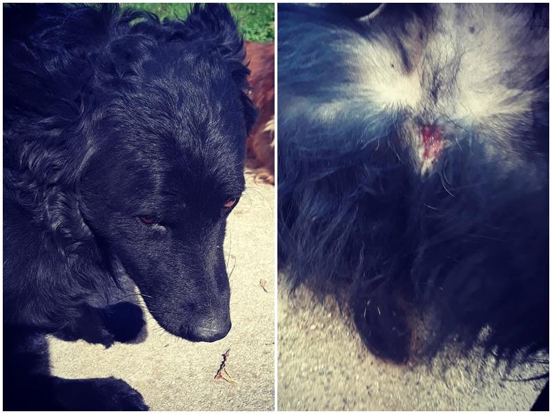 Photo of Okrutnost prema životinjama u Donjem Pazarištu: Tko je ozlijedio psa Garu?