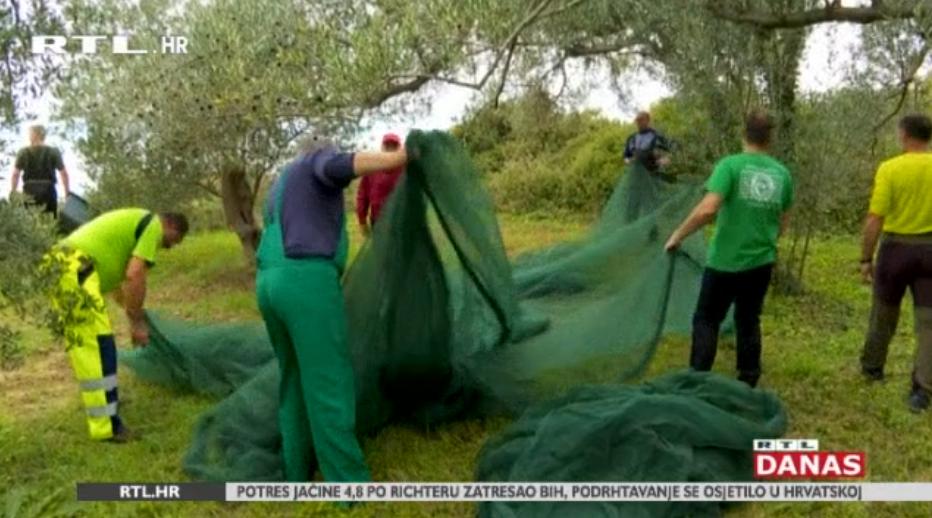 Photo of VIDEO Nova turistička atrakcija: smještaj ne plaćaju, nego odrade – branjem maslina!