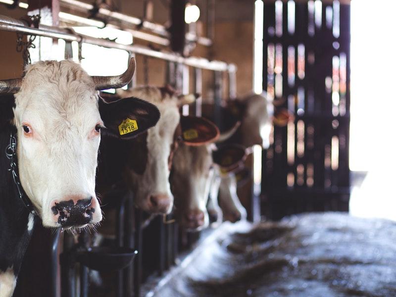 Photo of PIK Rijeka produžit će ovaj mjesec otkup mlijeka iz Brinja i okolice