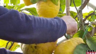 Photo of VIDEO Čudo iz Bibinja: Limun rekorder daje plodove do 1,7 kilograma težine!