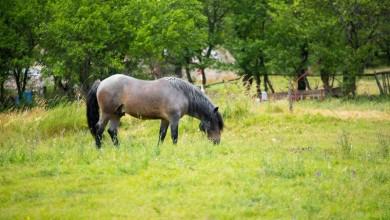 Photo of Lički konj – autohtona pasmina koja je izumrla u drugoj polovini 20. stoljeća