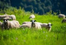 Photo of Rukavina za Jutarnji: Uvezete stado ovaca iz Rumunjske u Liku i ono odmah postaje Lika Quality