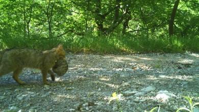 Photo of Divlja mačka s mačićem snimljena u Parku prirode Velebit