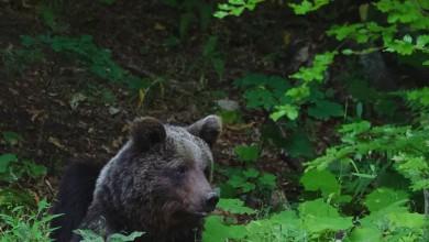 Photo of VIDEO Medo snimljen na velebitskoj večeri SALKIĆ: Svaki medvjed ima svoj poseban karakter