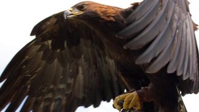 Photo of Gračac: Kazneno prijavljen jer je otrovao vuka, lisicu i surog orla
