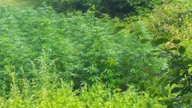 Photo of U Donjem Kosinju uzgajali marihuanu, pronašli su im 118 stabljika
