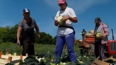 Photo of VIDEO Domaće voće i povrće jednostavnije je uništiti nego prodati