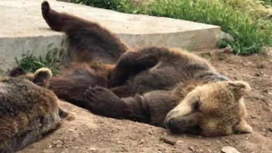 Photo of Međunarodna organizacija prekinula suradnju s Hrvatskom zbog Macolinih medvjeda