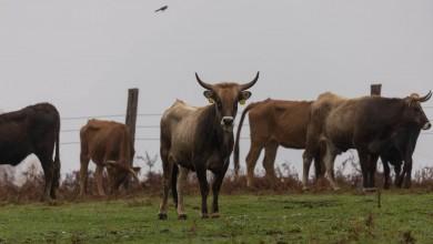 Photo of Rewilding Velebit: Nova skupina goveda iz Taurus projekta puštena na Ličkom polju
