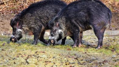 Photo of Jedinstveno osiguranje za štete od divljači uključivat će i poljoprivredne usjeve