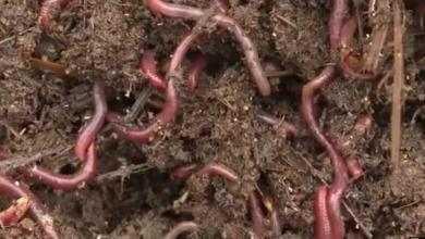 Photo of VIDEO Jeste li čuli za farme glista? Na njima se može dobro zaraditi, a sve što vam treba je komadić zemlje