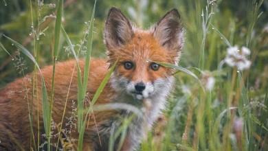 Photo of Započela jesenska kampanja oralne vakcinacije lisica