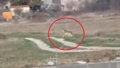 Photo of VIDEO U Milanovićevom selu vukovi usred bijela dana trče među kućama