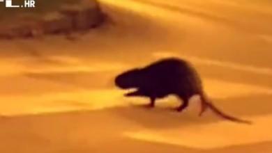 Photo of VIDEO Društvenim mrežama širi se snimka neobične životinje na području Vrapča. Znate li što je barska nutrija?