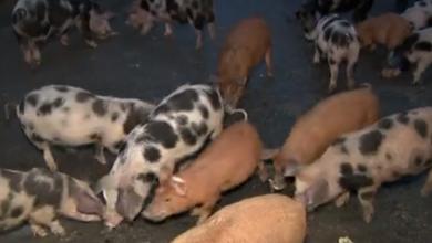 Photo of VIDEO Cijena svinjetine uskoro će se formirati prema novoj formuli