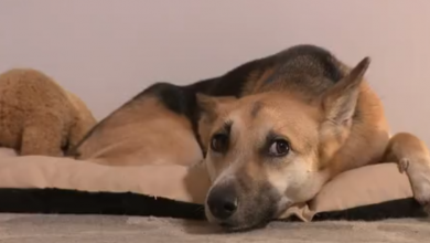 Photo of VIDEO Psi mogu biti pozitivni na koronu. Vlasnik ih može zaraziti, ali oni ne mogu zaraziti vlasnika