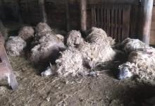 Photo of GRAČAC Vukovi zaklali 87 ovaca u štali, tko je odgovaran za ove strašne prizore?