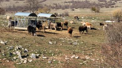 """Photo of Ministrica Vučković: """"40 posto krava pasmine buša i licenciranih bikova se nalazi u Ličko-senjskoj županiji"""""""