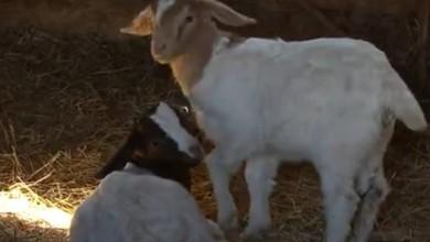 Photo of VIDEO Seljacima ubijaju konje, ovce i svinje i uzimaju meso: Potraga istražuje štiti li netko krivolovce?