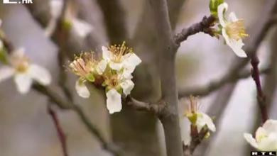 """Photo of VIDEO Samo pojedini su spasili svoje plantaže voća od mraza: """"Ne tražimo pomoć ili još gore – milostinju"""""""