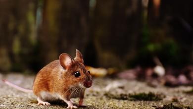 Photo of OPREZ Mišja groznica pojavila se u više županija