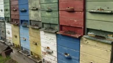 """Photo of VIDEO U Hrvatskoj ima pola milijarde pčela više nego lani: """"Čovjek je pčelama najveći neprijatelj. Sami sebi radimo probleme"""""""