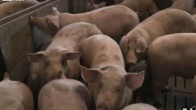 Photo of VIDEO U godinu dana izgubili smo više od 1000 registriranih uzgajivača svinja: Kupci bi željeli pomoći domaćim proizvođačima, ali…