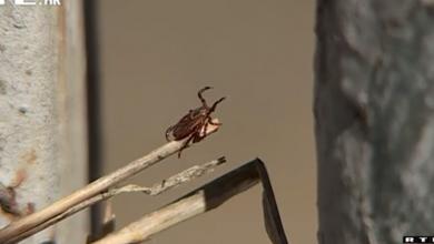 Photo of VIDEO Oprez! Krpelja nikad više, najnovija metoda uklanjanja – koncem