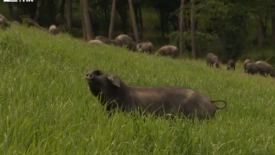 Photo of VIDEO  Kako je crna svinja postala hit? Fajferica nije obična gica. Direkt među 9000 svinja na najvećoj farmi u Hrvatskoj