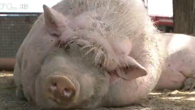 Photo of VIDEO U srcu Slavonije jarac, magarac i još stotinu životinja žive sretno s ljudima – ne, nije riječ o basni