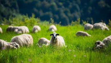 Photo of Program potpore: Uzgajivačima ovaca i koza 7,5 milijuna kuna